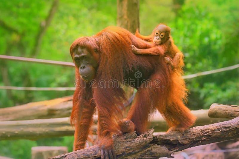 Le jeune orang-outan dort sur sa mère photos stock