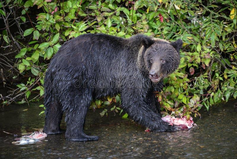 Le jeune ours gris avec saumoné reste photographie stock