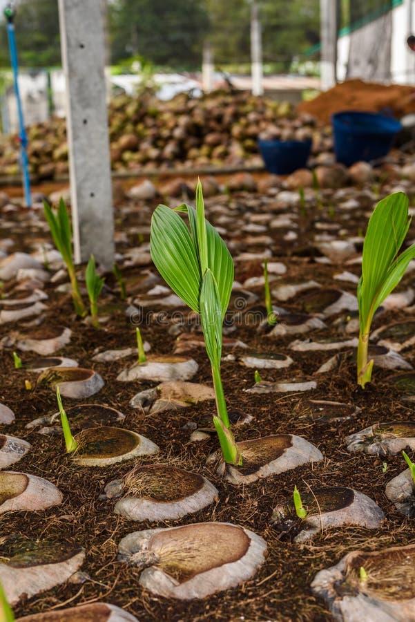 Le jeune parfum de noix de coco dans l'élevage de noix de coco cultive dans la conversion photos stock