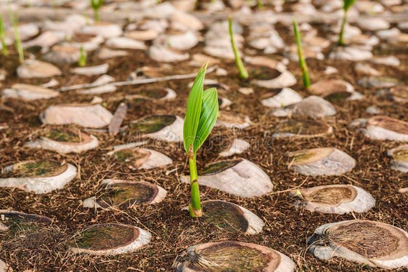 Le jeune parfum de noix de coco dans l'élevage de noix de coco cultive dans la conversion photo stock