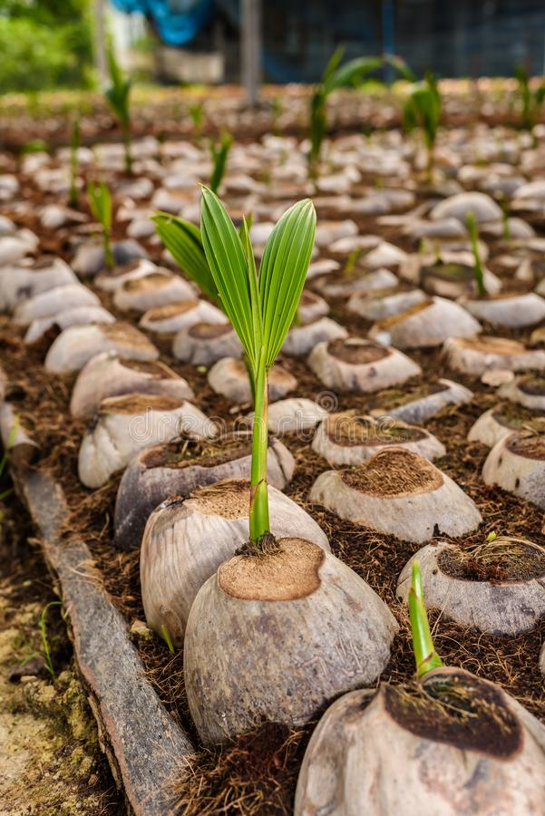 Le jeune parfum de noix de coco dans l'élevage de noix de coco cultive dans la conversion photographie stock