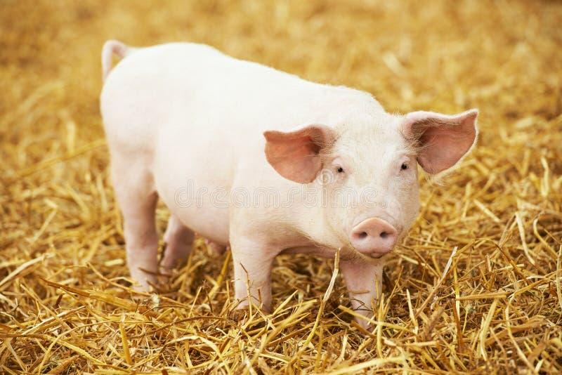 Le jeune porcelet sur le foin et la paille à l'élevage de porc cultivent photographie stock
