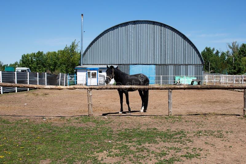 Le jeune poulain vit sur le ranch pour emballer, mangeant le foin photos libres de droits