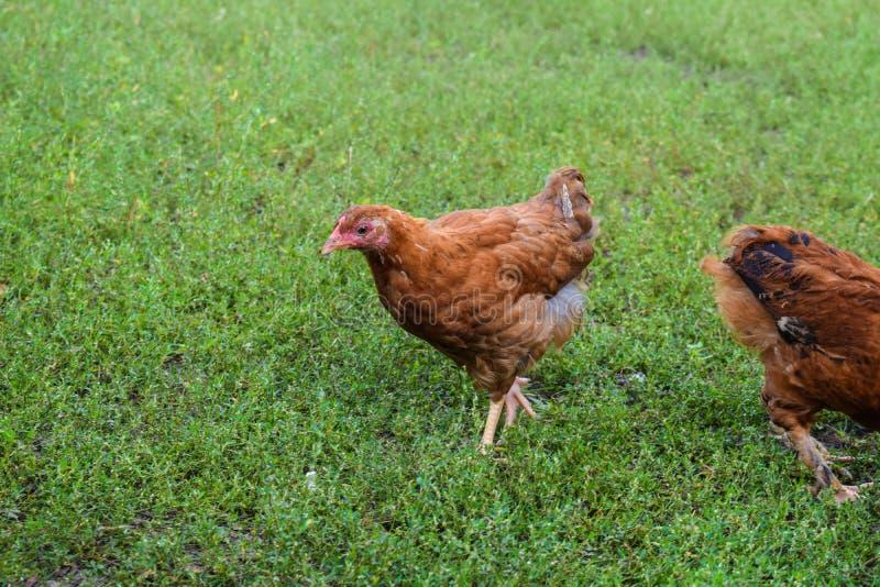 Le jeune poussin marche sur l'herbe verte Expression de la volaille photographie stock