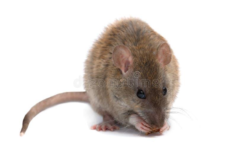 Le jeune rat de plan rapproché mange la biscotte et regarder un appareil-photo D'isolement sur le blanc photographie stock