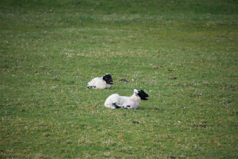 Le jeune ressort fait face noir agnelle dans un domaine photos stock
