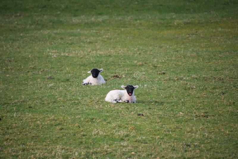 Le jeune ressort fait face noir agnelle dans un domaine photos libres de droits