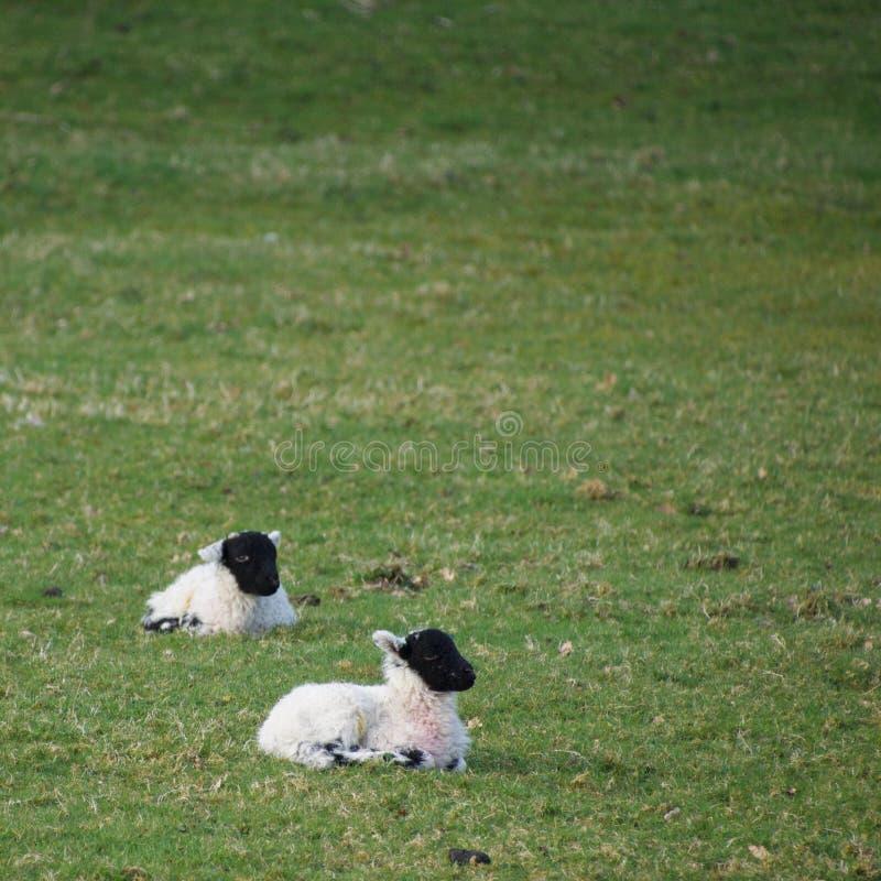 Le jeune ressort fait face noir agnelle dans un domaine photographie stock libre de droits