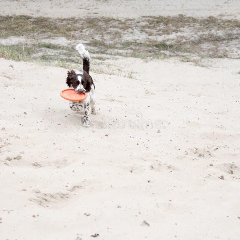 Le jeune springer spaniel joue avec un disque sur la nature Crabot dr?le images libres de droits