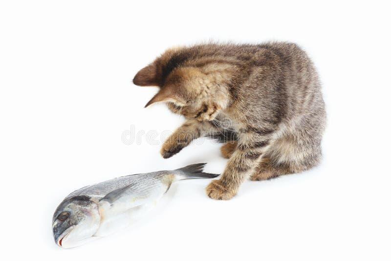 Le joli chaton regarde un poisson de dorade sur le fond blanc image libre de droits