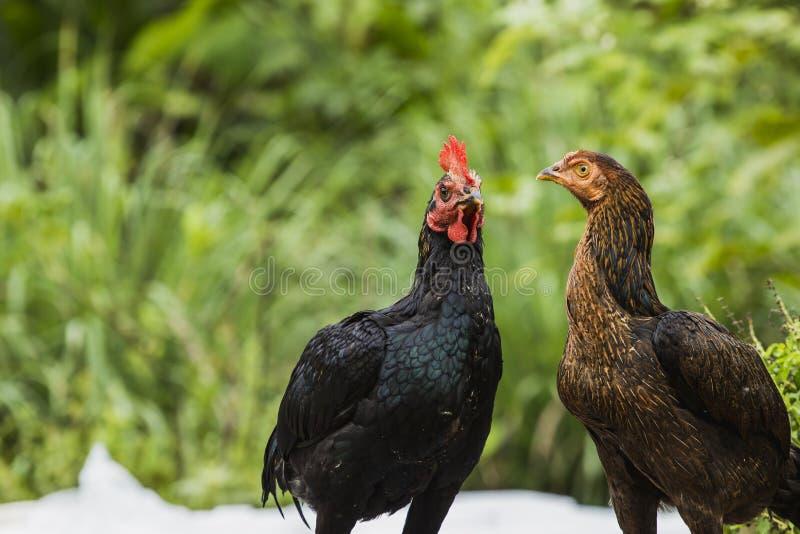 Le jumeau thaïlandais de poulet est ami image libre de droits