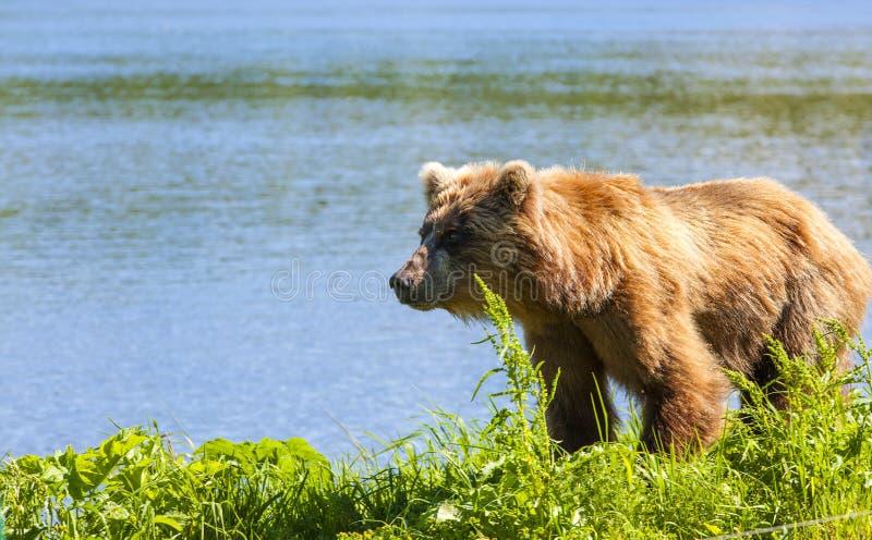 Le Kamtchatka brun concernent le rivage du lac kuril images stock