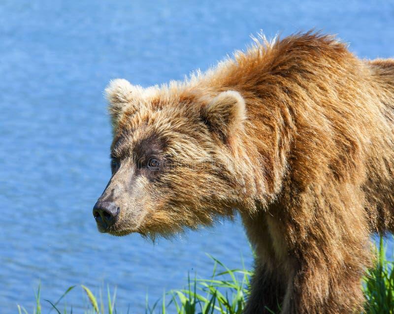 Le Kamtchatka brun concernent le rivage du lac kuril photo stock