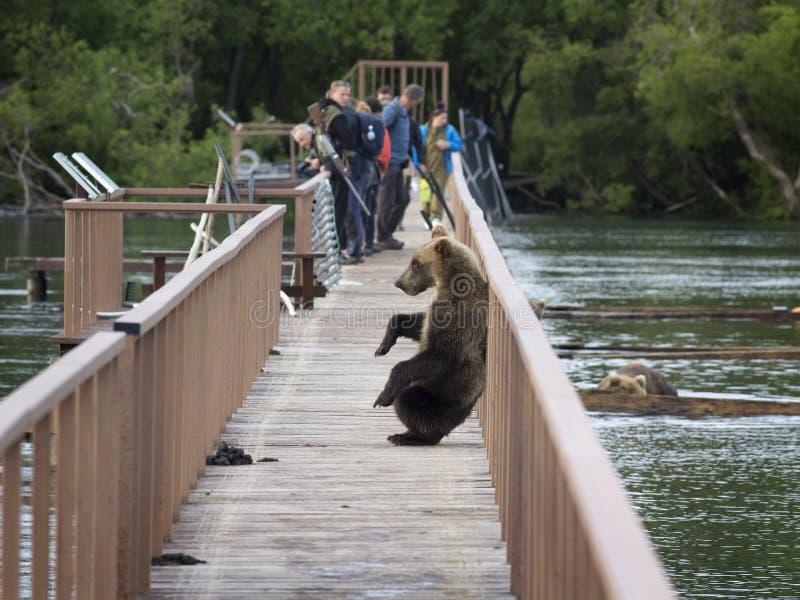 Le KAMTCHATKA, RUSSIE - 8 août - un jeune ours s'est élevé sur un woode image stock