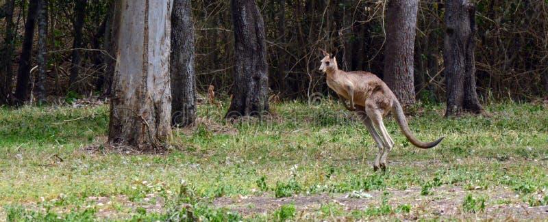 Le kangourou gris oriental saute photo stock
