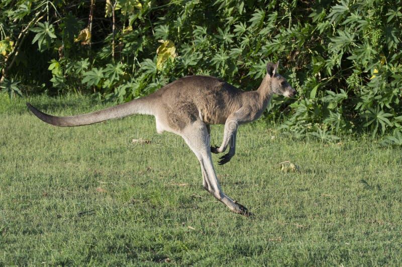 Le kangourou sautant le long du champ vert photographie stock