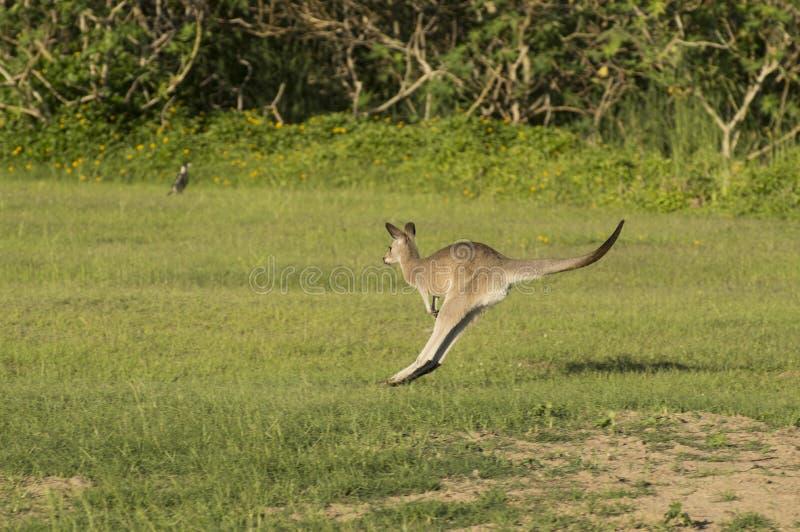 Le kangourou saute à travers un champ vert photos libres de droits