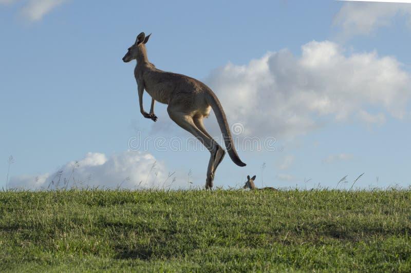 Le kangourou saute contre le ciel bleu image libre de droits