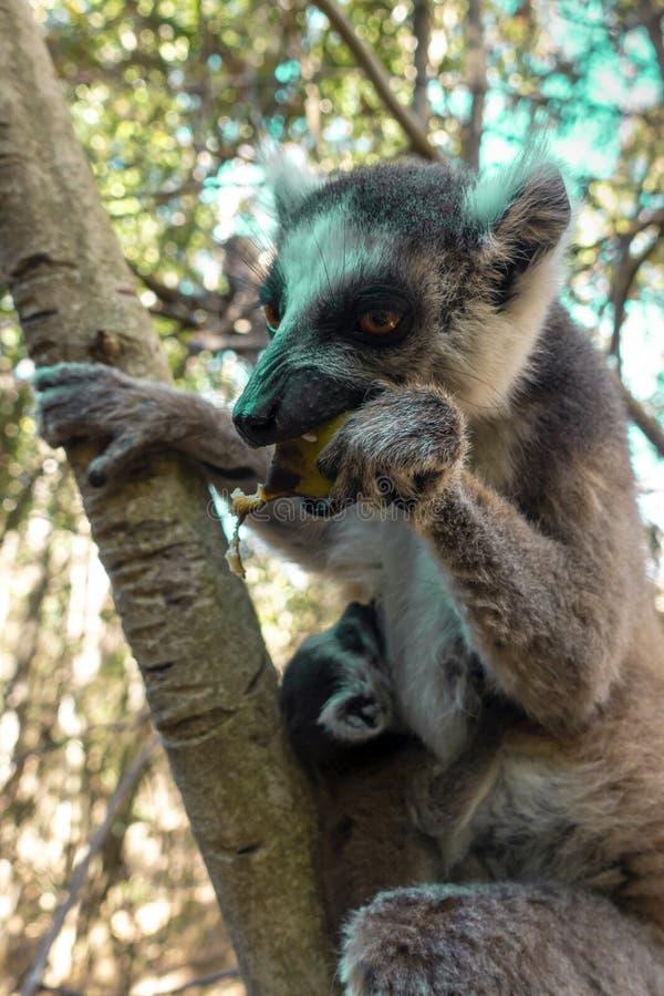 Le kata de Ring Tailed Lemur, se ferment vers le haut du bébé de lémur et de la mère Anneau-coupés la queue, mère allaitant son b photo libre de droits