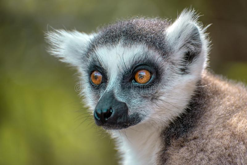 Le kata de Ring Tailed Lemur, se ferment vers le haut du lémur Anneau-coupé la queue, Madagascar, portrait photo stock