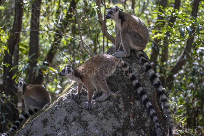 Le kata de Ring Tailed Lemur, se ferment vers le haut du lémur Anneau-coupé la queue, Madagascar, se tenant sur la pierre photo stock
