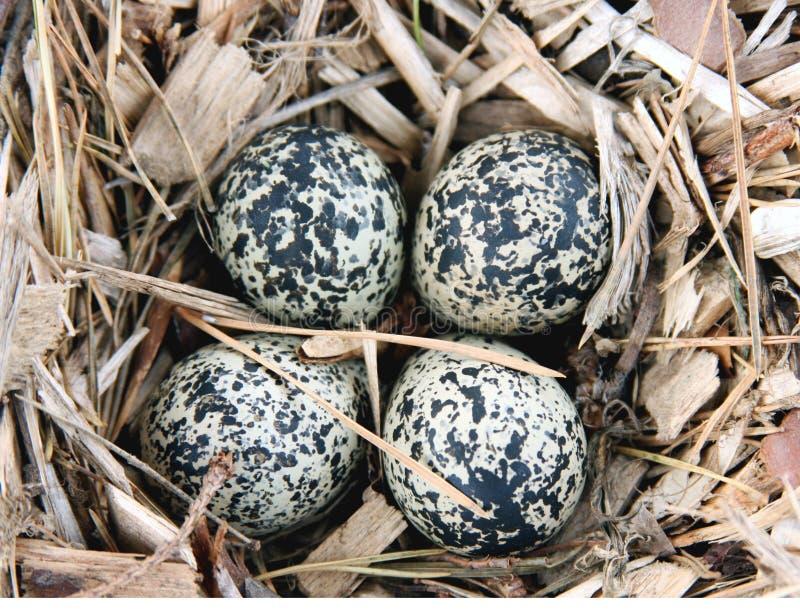 Le Killdeer (vociferus de Charadrius) eggs dans l'emboîtement image stock