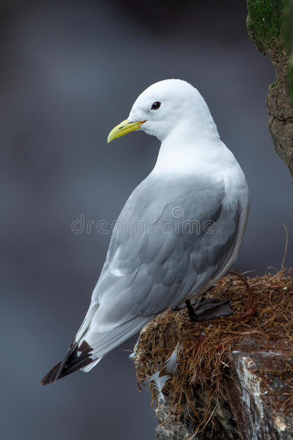 Le Kittiwake Black-legged photos stock
