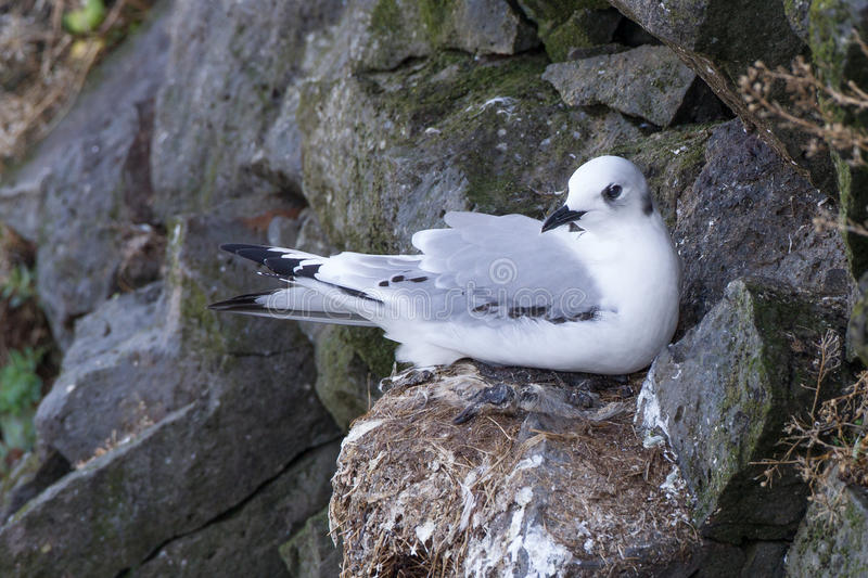 Le Kittiwake Black-legged images stock