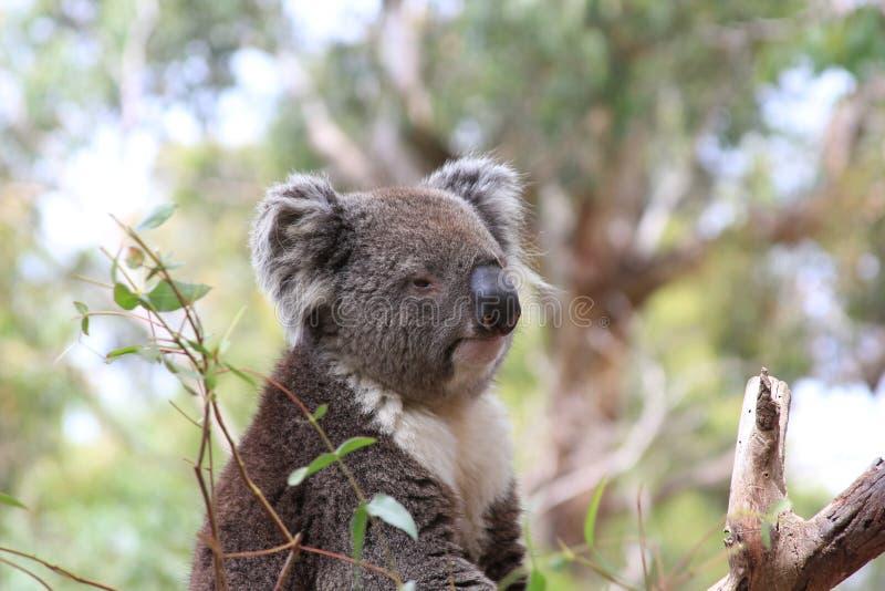 Le koala concernent un arbre photographie stock