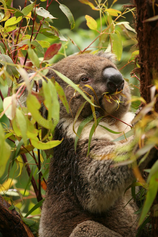 Le koala en vert frais de consommation d'arbre de gomme part images libres de droits