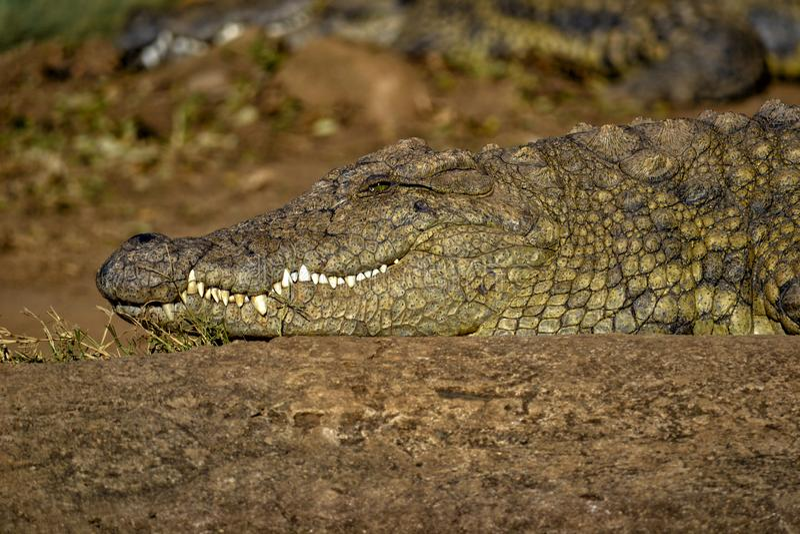 Le krokodilen i Sydafrika arkivfoton