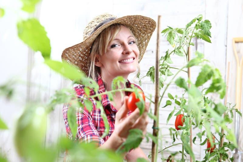 Le kvinnan i grönsakträdgård, körsbärsröd tomat för handplockning royaltyfri fotografi