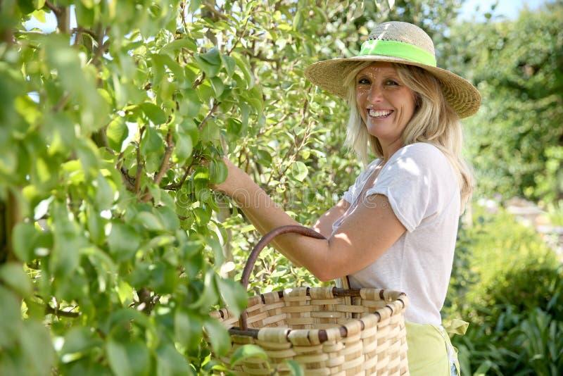 Le kvinnan som samlar frukter royaltyfria foton
