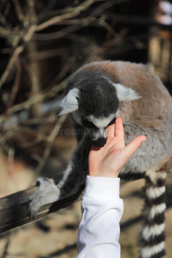 Le lémur coupé la queue par anneau lèche la main d'un enfant photos stock