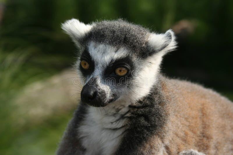 Le lémur soigneux photographie stock libre de droits