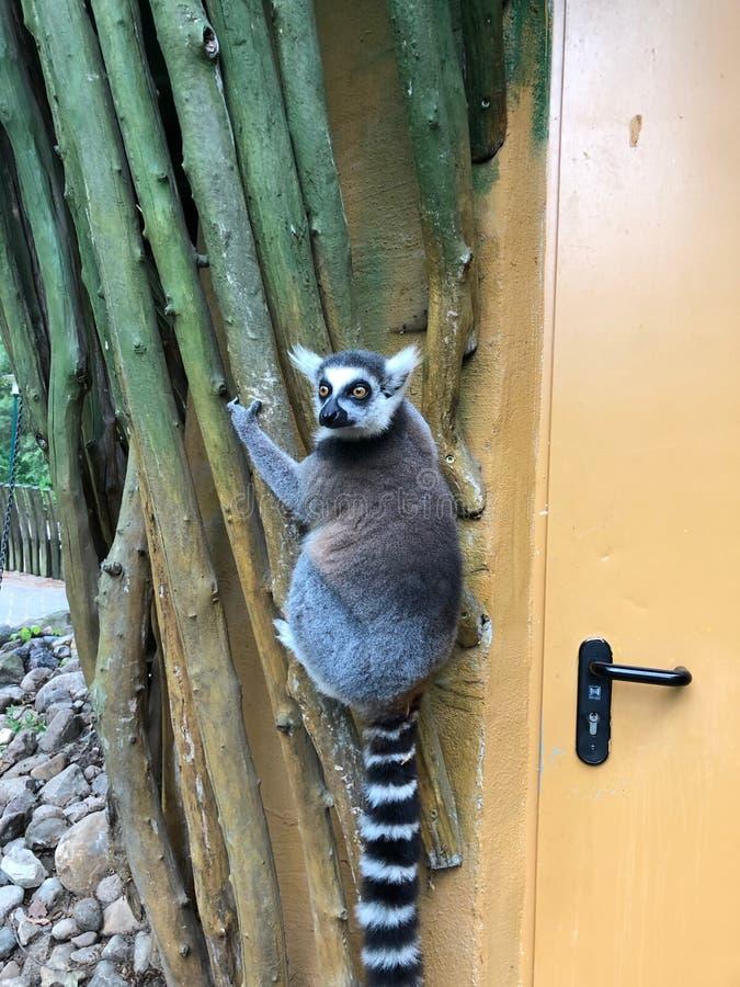 Le lémur traîne sur le mur extérieur d'un bâtiment et des regards de zoo photos libres de droits