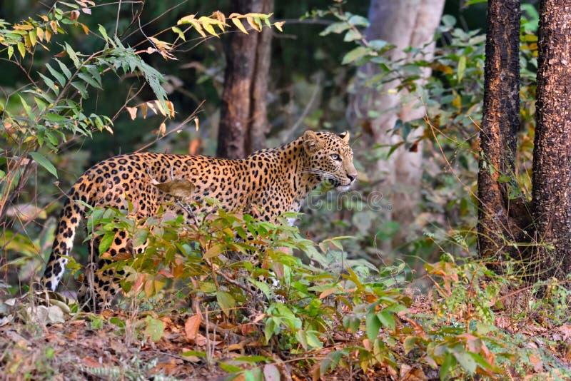 Le léopard est vigilant image stock