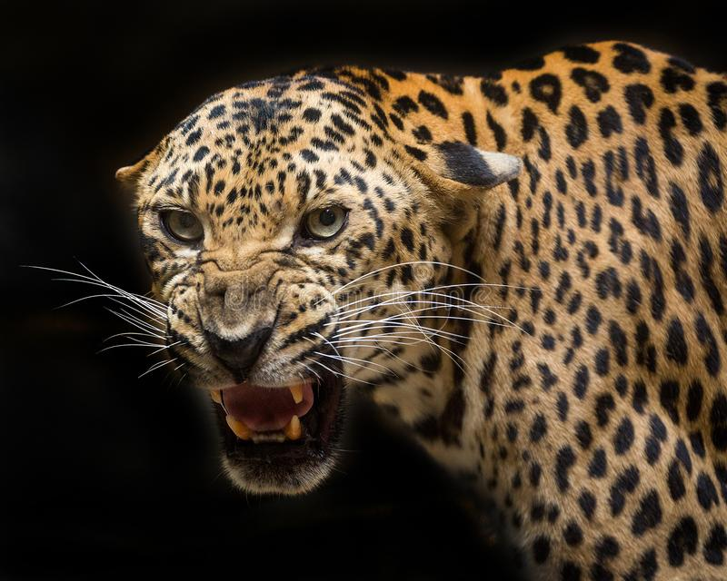Le léopard hurle image stock