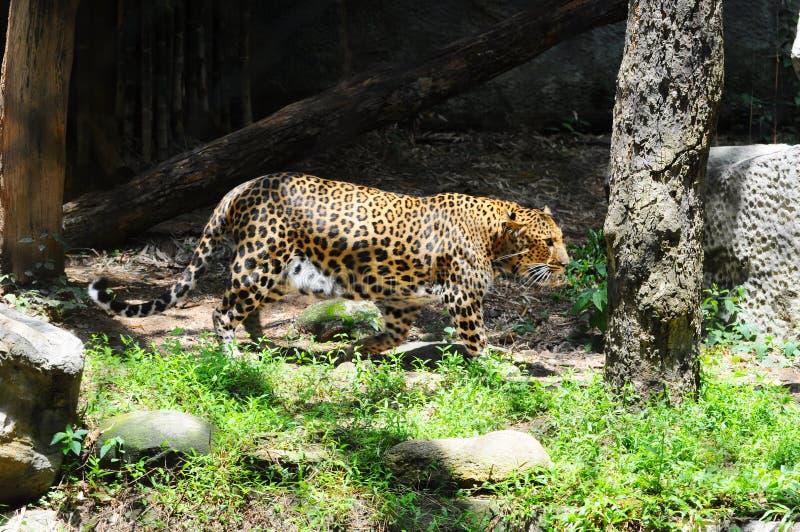 Le léopard marche dans un zoo images stock
