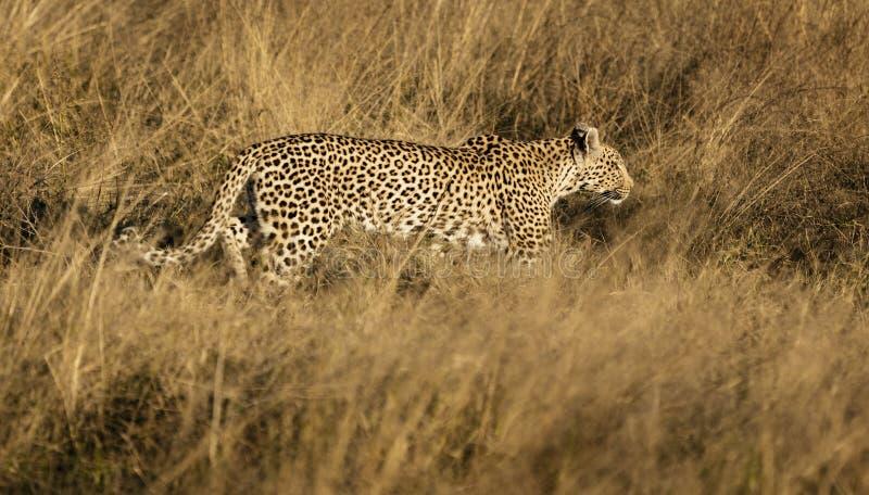 Le léopard marche dans une herbe sèche, traquant sa proie photo libre de droits