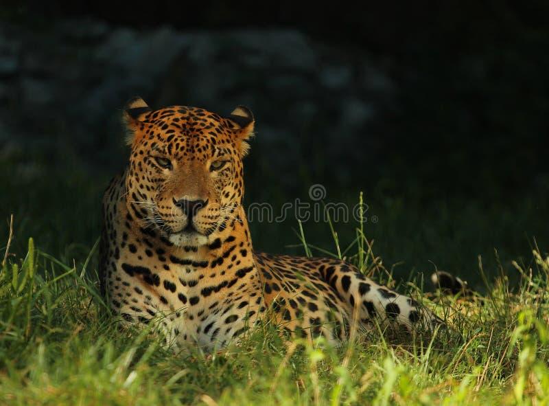 Le léopard sri-lankais ou kotiya de pardus de Panthera de léopard de la Ceylan se trouvant et appréciant le soleil photographie stock