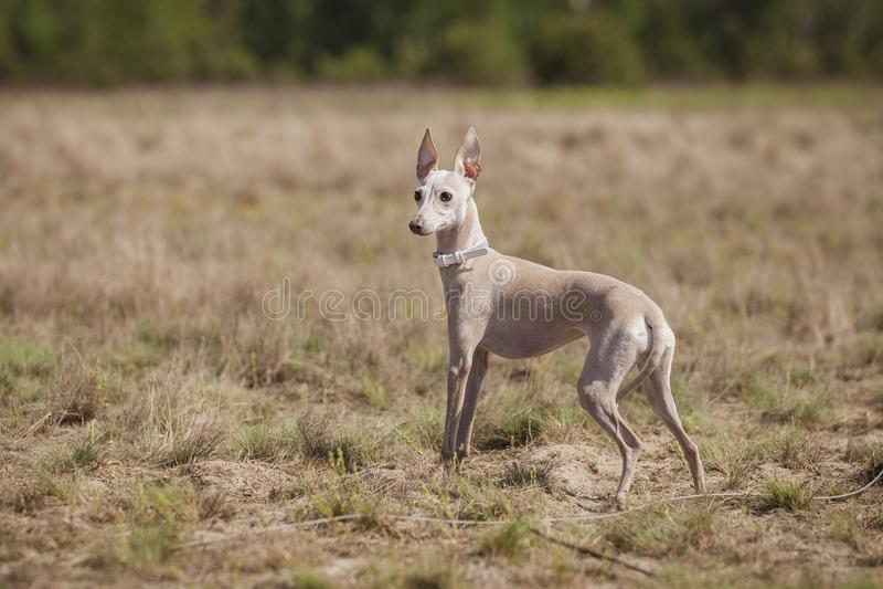 Le lévrier italien de chien poursuit l'amorce dans le domaine Chasser la formation photos libres de droits
