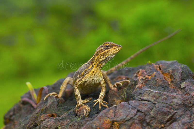 Le lézard fan-throated, femelle enceinte de ponticeriana- de Sitana photographie stock