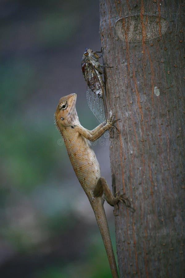 Le lézard rouge veulent manger la cigale sur l'arbre image stock