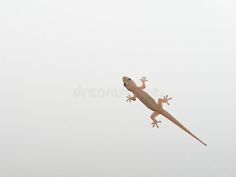 Le lézard transparent gris, petit reptile, a trouvé dans le secteur tropical image libre de droits