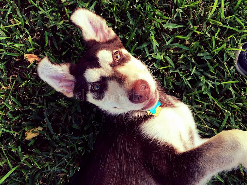 Le Labrador Husky Pose images stock