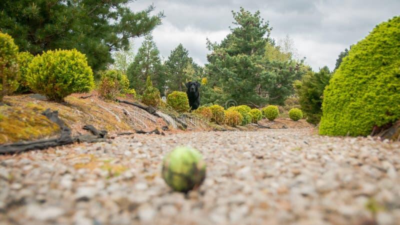 Le Labrador Noir Attend Son Bal De Tennis photographie stock