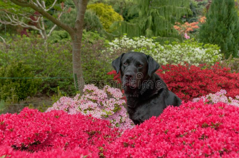 Le Labrador noir aux fleurs colorées photos stock