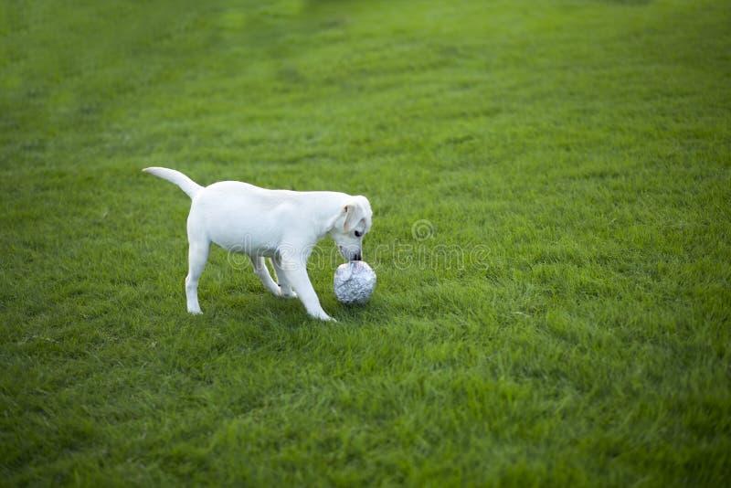 Le Labrador recherchent photos libres de droits