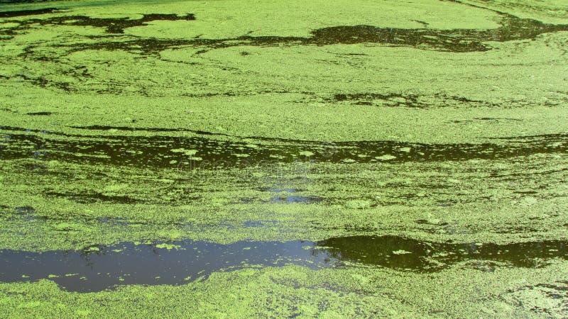 Le lac est couvert d'algues photo libre de droits